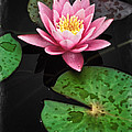 Colorful Lily Pads 1 by Patrick M Lynch