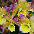 Colorful Orchids by Penny Lisowski