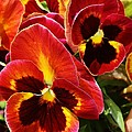 Colorful Pansies by Bruce Bley