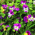 Colorful Pansies by Sherman Perry