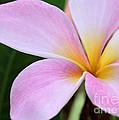 Colorful Pink Plumeria Flower by Sabrina L Ryan
