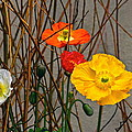 Colorful Poppies And White Willow Stems by Byron Varvarigos