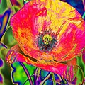 Colorful Poppy by Carol Lynch