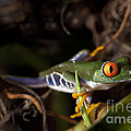Colorful Red Eyed Tree Frog by Brandon Alms