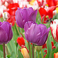 Colorful Spring Tulips Garden Art Prints by Baslee Troutman