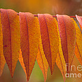 Colorful Sumac Foliage In Fall by Heiko Koehrer-Wagner