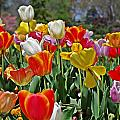 Colorful Tulips by Sharon Popek