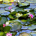 Colorful Water Lily Pond by Carol Groenen