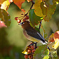 Waxwing In Fall Colors by Nava Thompson