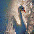 Colorful White Peacock by Jerry Gammon