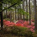Colorful Woodland Azalea Garden by Kathy Clark