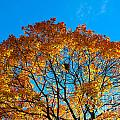 Colourful Autumn Tree Against Blue Sky by Kerstin Ivarsson