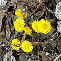 Coltsfoot by Gene Cyr