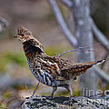 Coltsfoot Ruffed Grouse by Timothy Flanigan