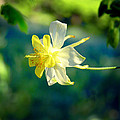 Columbine Flower by April Dunlap