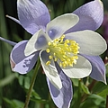 Columbine Flower by Tonya Hance