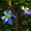Columbine Flowers And Pine Tree by Jeff Black