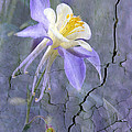 Columbine On Cracked Wall by James Steele