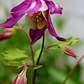 Columbine Wildflower by Margo Miller