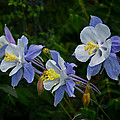 Columbines by Ernie Echols