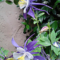 Columbines Exquisite Blooms by DJ Laughlin
