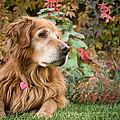 Comanche Autumn - Golden Retriever - Casper Wyoming by Diane Mintle