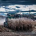 Combining Corn by Ronald Grogan