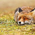 Comfortably Fox by Roeselien Raimond