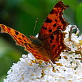 Comma Butterfly by Tom Wade