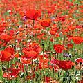 Commemorative Poppies by Julia Gavin