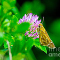 Common Banded Skipper by Scott Hervieux