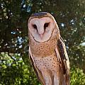 Common Barn Owl 1 by Douglas Barnett