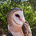 Common Barn Owl 10 by Douglas Barnett