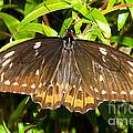 Common Birdwing Butterfly by Millard H. Sharp