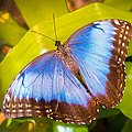 Common Blue Morpho by Bill Pevlor