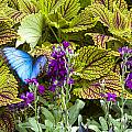 Common Blue Morpho Butterfly by Jack R Perry
