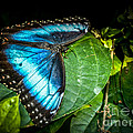 Common Blue Morpho by Ronald Grogan