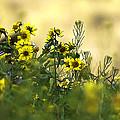Common Brighteyes Natural Bouquet by Dan Sabin