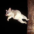 Common Brush-tailed Possum by BG Thomson