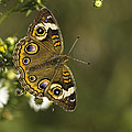 Common Buckeye 1 by Thomas Young