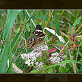 Common Buckeye Butterfly - Junonia Coenia by Mother Nature