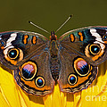 Common Buckeye by Millard H. Sharp