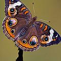 Common Buckeye Precis Coenia by Millard H. Sharp