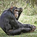 Common Chimpanzee  Pan Troglodytes by Juergen Ritterbach