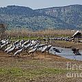 Common Crane Grus Grus by Eyal Bartov