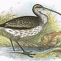Common Curlew by English School