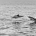 Common Dolphins Leaping. by Jamie Pham