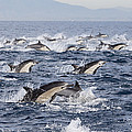 Common Dolphins Surfacing San Diego by Richard Herrmann