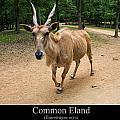 Common Eland by Chris Flees