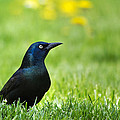 Common Grackle by Christina Rollo